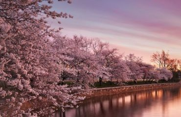 Cherry Blossoms Galore Tour | USA Guided Tours