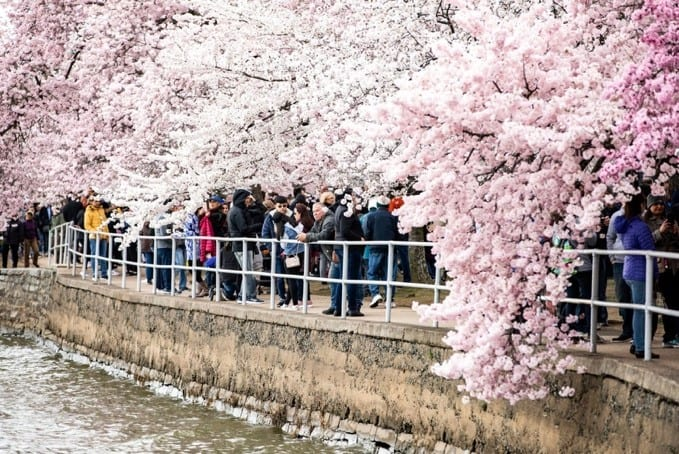 Exploring the Tidal Basin at Peak Bloom